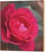 Red Rose Of May Wood Print
