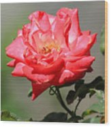 Red Rose On A Bush Wood Print