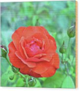 Red Rose On Natural Background With Green Leaves. Wood Print