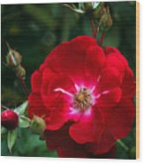 Red Rose With Buds Wood Print