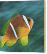 Red Sea Clownfish  Wood Print