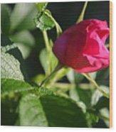 Red Semi Rose Bud Wood Print