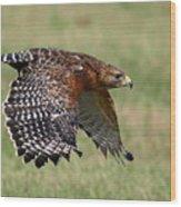 Red-shouldered Hawk Flight Wood Print