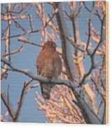 Red-shouldered Hawk Wood Print