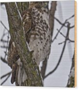 Red Shouldered Hawk - Madison - Wisconsin Wood Print