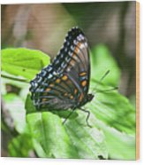 Red-spotted Purple 4172 Wood Print