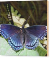 Red-spotted Purple 4257 Wood Print