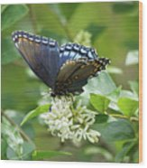 Red-spotted Purple Butterfly On Privet Flowers Wood Print
