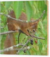 Red Squirrel In The Cherry Tree Wood Print