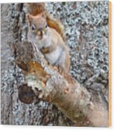 Red Squirrel Maine Wood Print