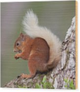Red Squirrel On Tree Wood Print