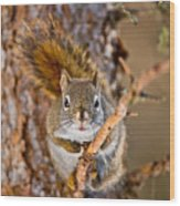 Red Squirrel Pictures 144 Wood Print