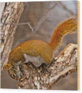 Red Squirrel Pictures 145 Wood Print
