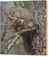 Red Squirrel Pictures 161 Wood Print