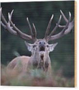 Red Stag Wood Print