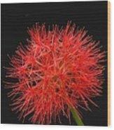 Red Starburst2 Wood Print