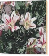 Red Stripe Tulips Wood Print