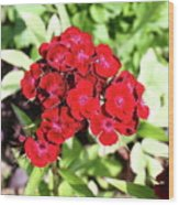 Red Sweet William Wood Print