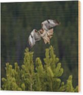 Red-tail Flight At Sunset Wood Print