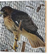 Red Tail Hawk Wood Print