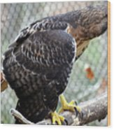 Red Tail Hawk Facing Right Wood Print
