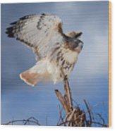 Red Tail Hawk Perch Wood Print