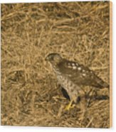 Red Tail Hawk Walking Wood Print