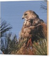 Red Tail In The Pines Wood Print