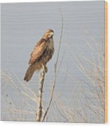 Red Tailed Hawk 20100101-5 Wood Print