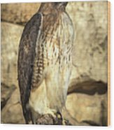 Red-tailed Hawk 5 Wood Print