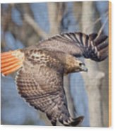 Red Tailed Hawk Flying Wood Print