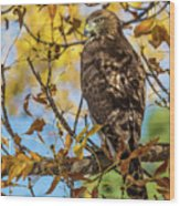 Red-tailed Hawk In Fall Color Wood Print