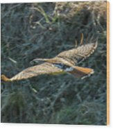 Red Tailed Hawk  In Flight Wood Print