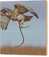 Red-tailed Hawk In Flight With Snake Wood Print