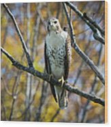 Red-tailed Hawk In The Fall Wood Print