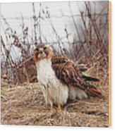 Red Tailed Hawk In The Field Wood Print