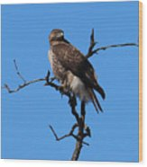 Red Tailed Hawk Wood Print by Kathy DesJardins