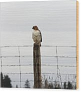 Red Tailed Hawk On The Lookout Wood Print