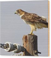 Red Tailed Hawk Perched Wood Print