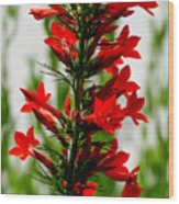 Red Texas Plume Flowers Wood Print