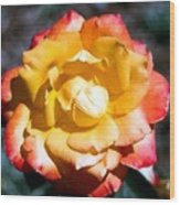 Red Tipped Yellow Rose Wood Print