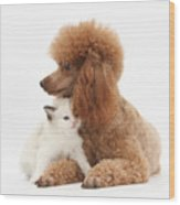 Red Toy Poodle And Kitten Wood Print