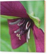Red Trillium.. Wood Print