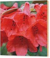 Red Trumpet Rhodies Wood Print