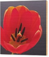 Red Tulip 4 Wood Print