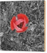 Red Tulip From Above Wood Print