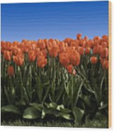 Red Tulip Garden Wood Print
