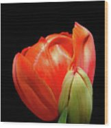 Red Tulip With Bud Wood Print