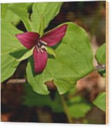 Red Upright Trillium Wood Print