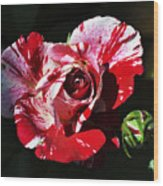 Red Verigated Rose Wood Print by Clayton Bruster